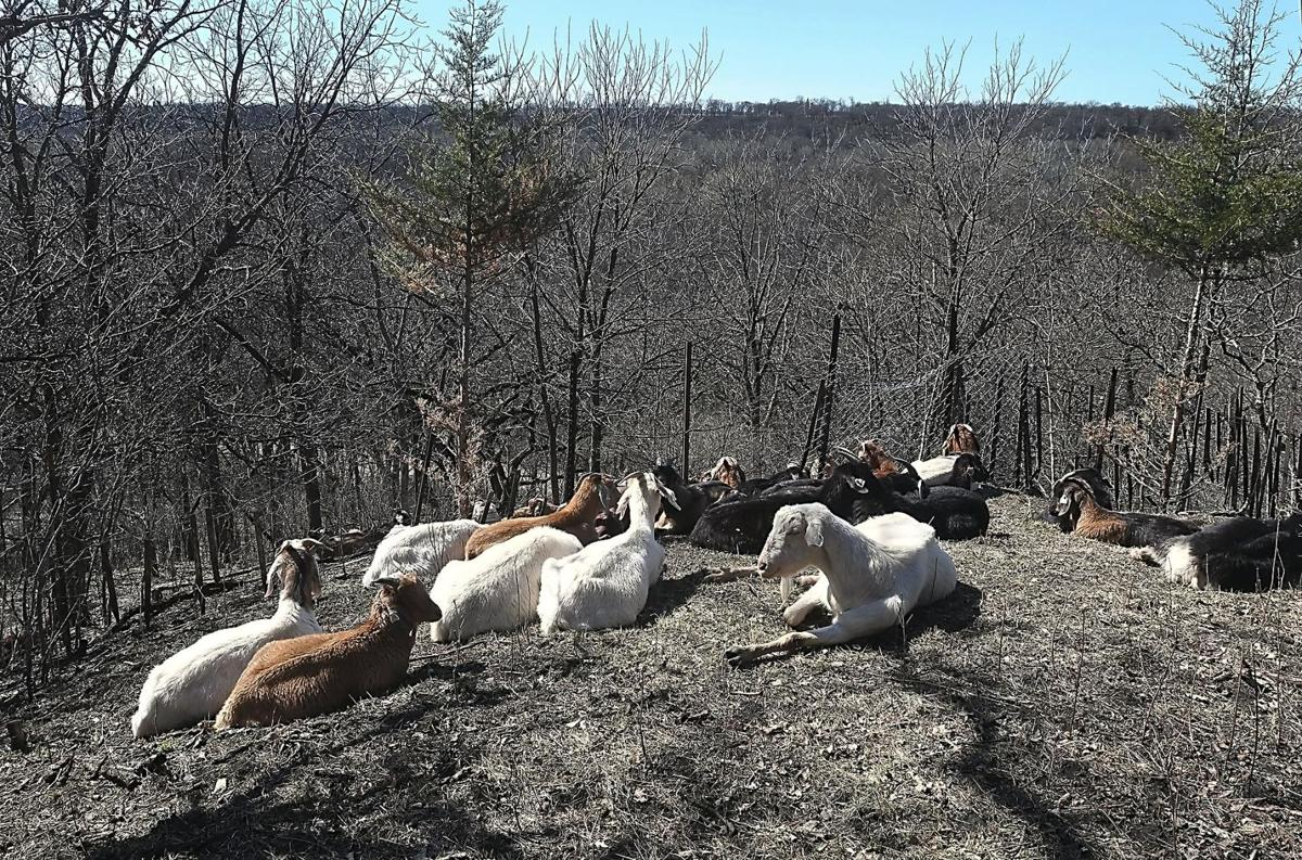 Flandrau goats 2 file