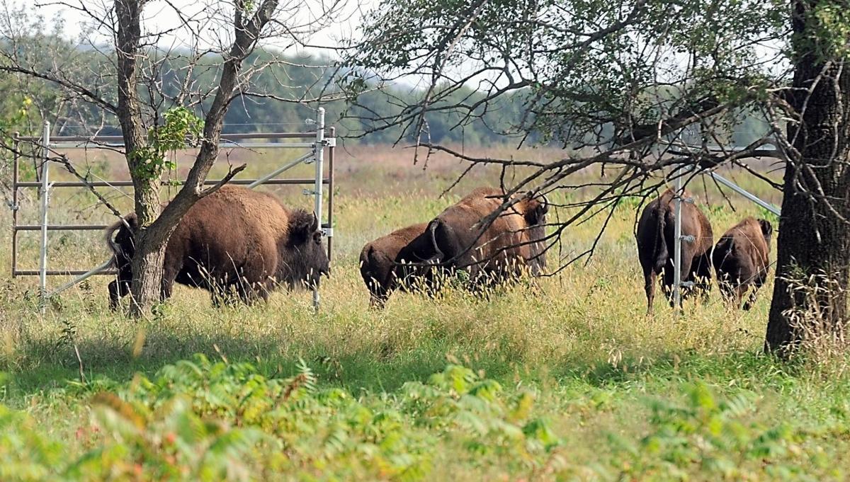 Minneopa State Park bison