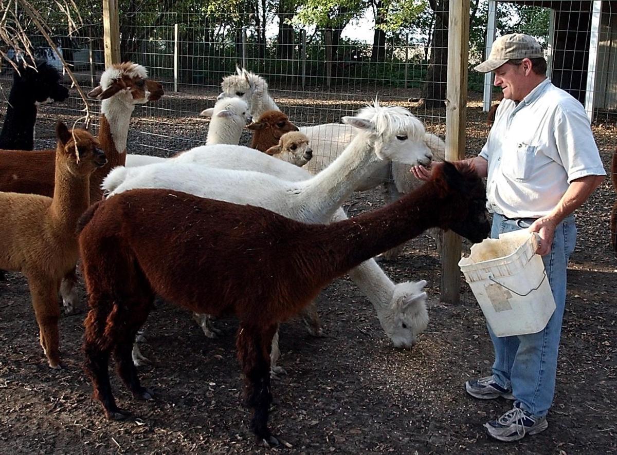 Mn Alpaca Farm Tour