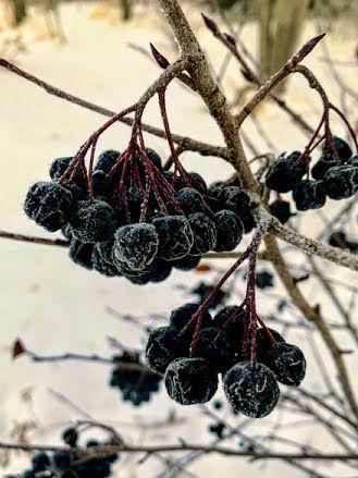 chokeberries