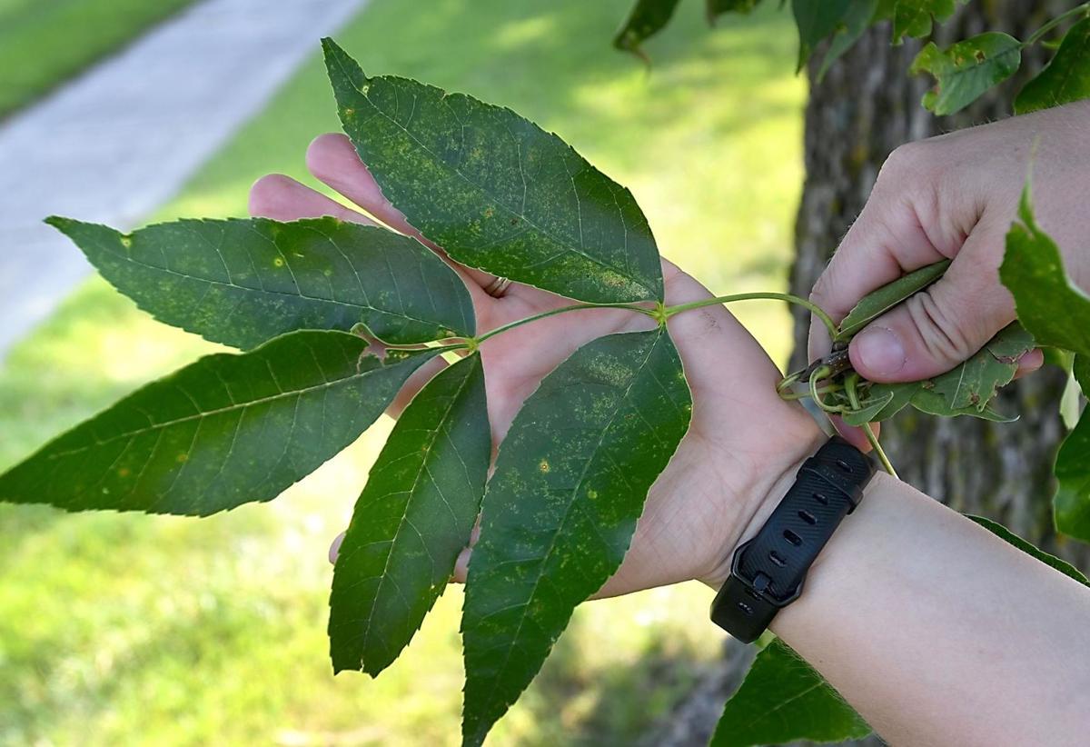 Emerald ash borer tree leaves
