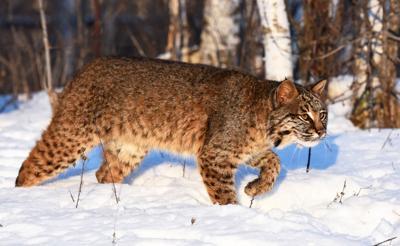 Morrison Minnesota Bobcats Can Be Rare Sight Outdoors Mankatofreepress Com