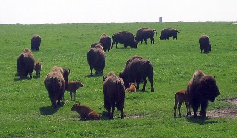 mfp sub-Blue Mounds bison