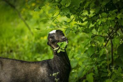Goat eating buckthorn