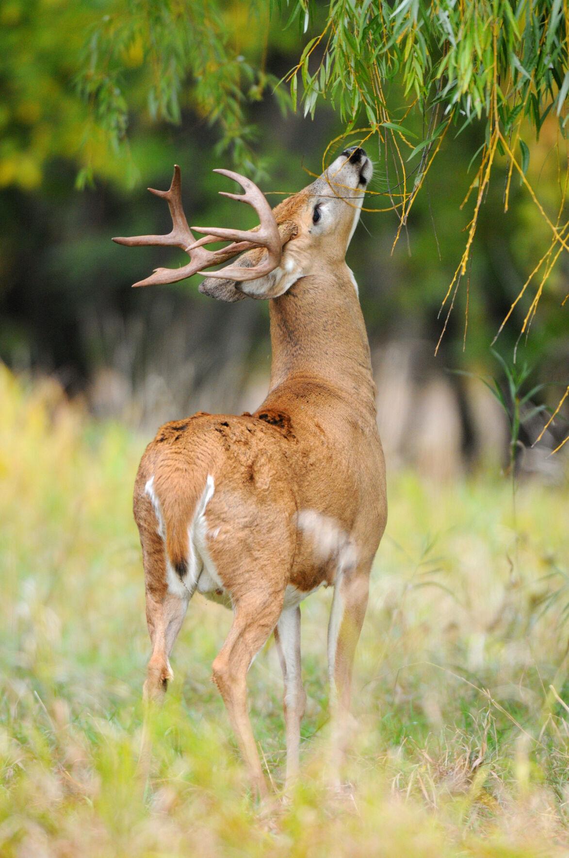 Morrison deer foto2 11-1