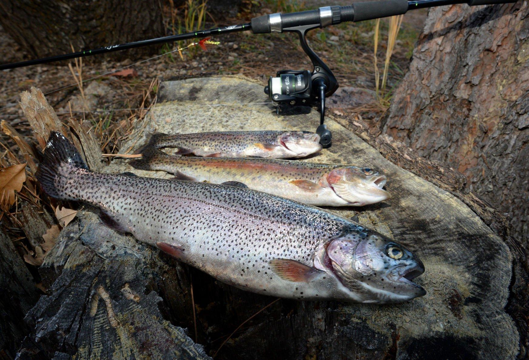 Chinook fish - a bright representative of salmon 73