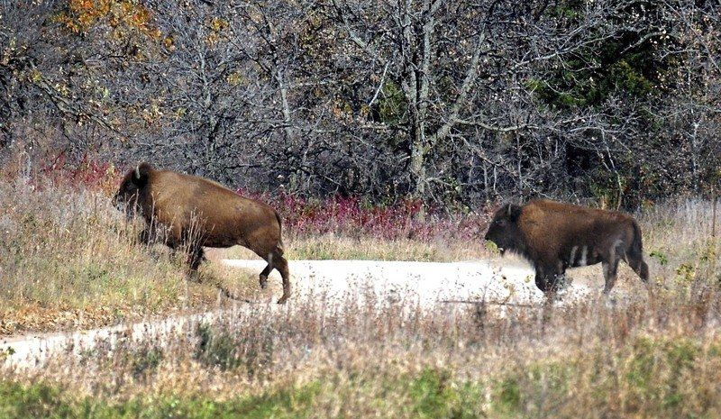 Yellowstone Bison Genes Imported To Minnesota Herd Local News
