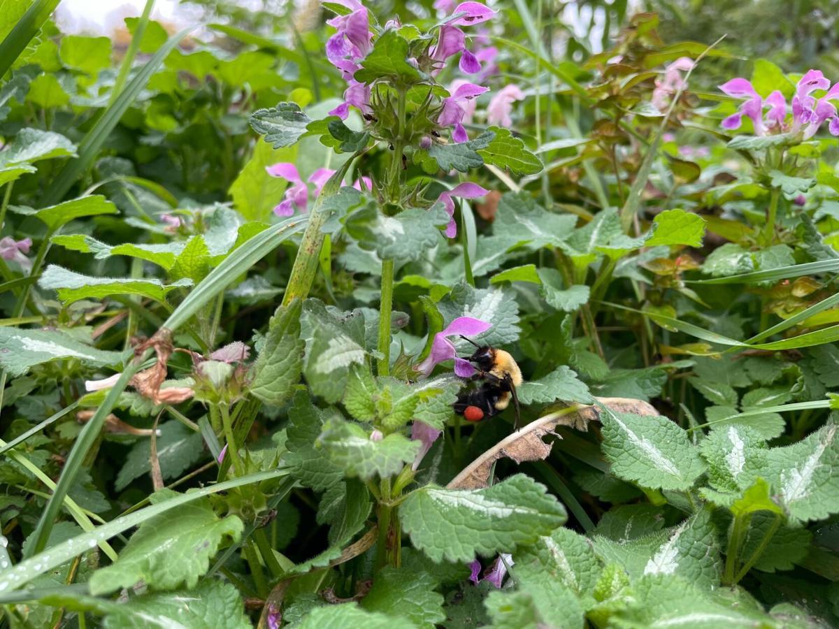 Borchardt's bumblebee 3