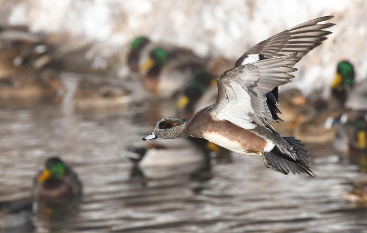 Morrison duck foto1