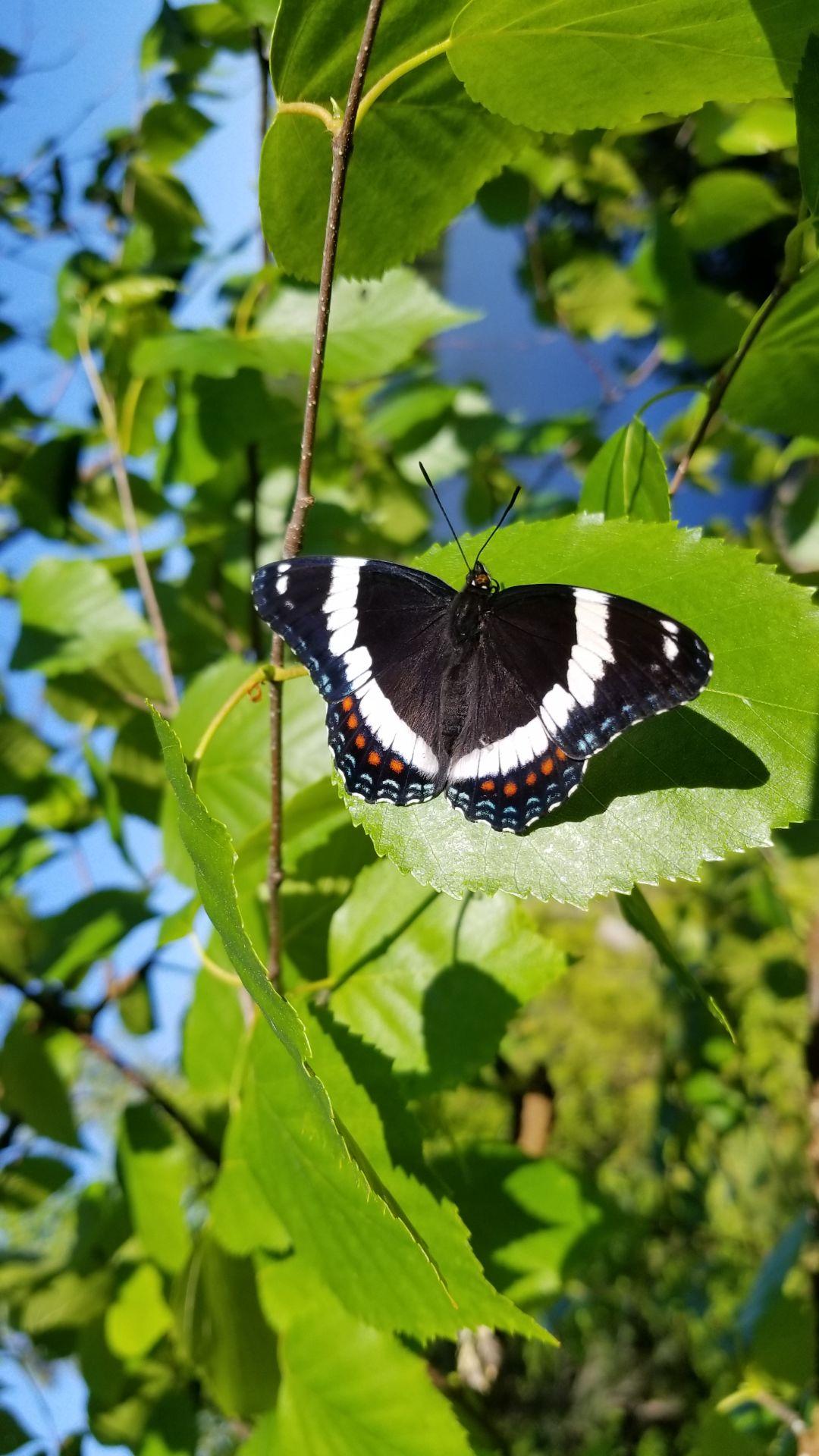 Mackenthun butterfly foto 5-31