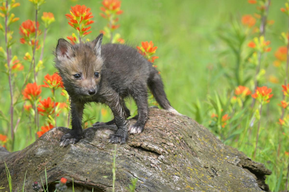 Red fox foto 5-17
