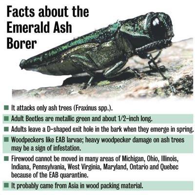 Ash borer graphic