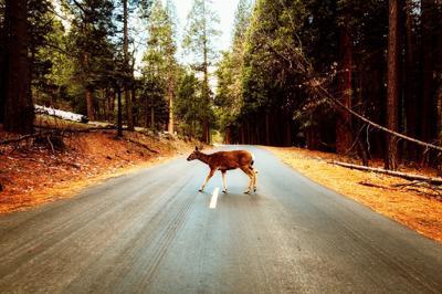Deer on the highway