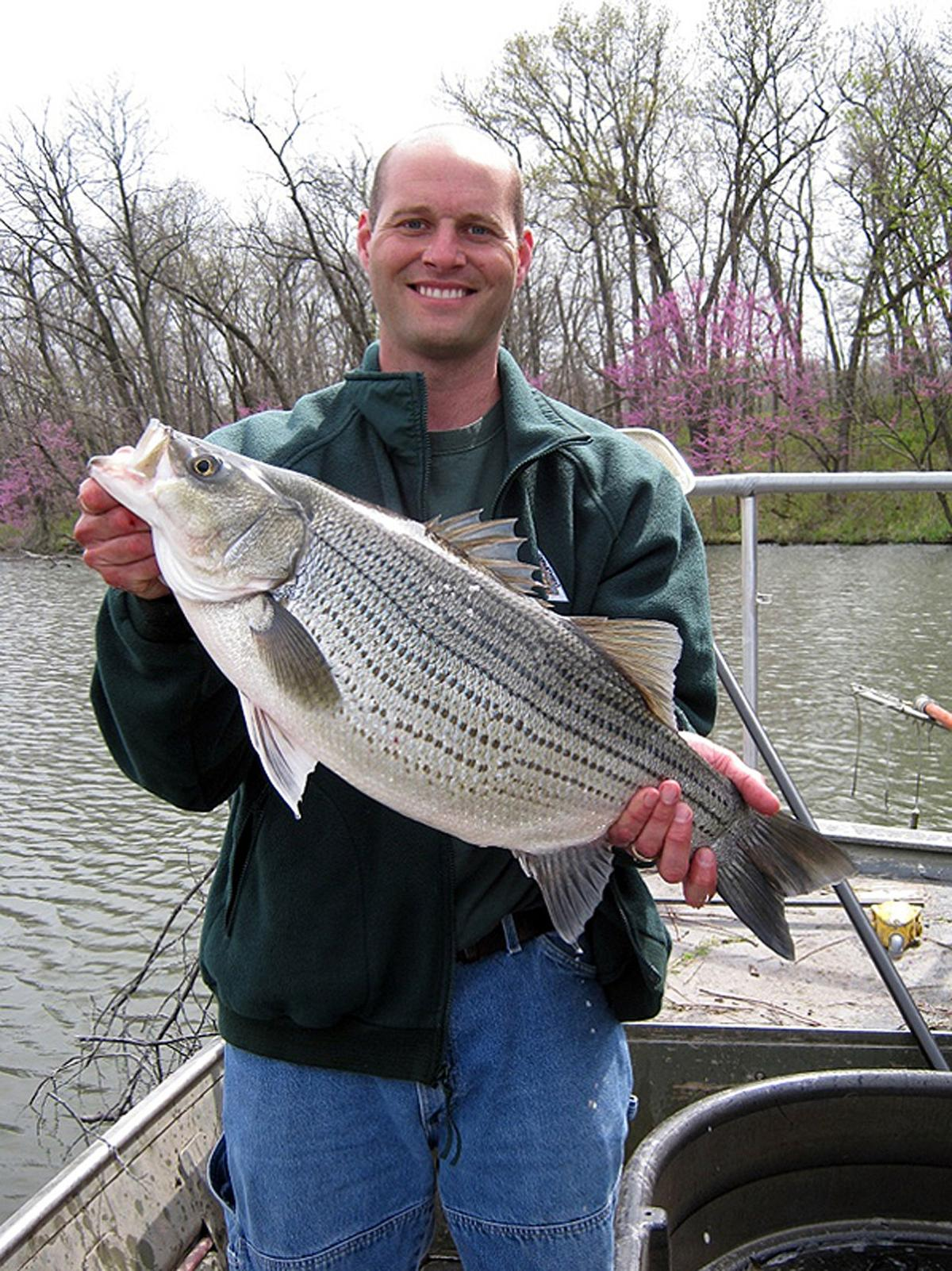 5-16-19 MDC Hybrid 2-hybrid-striped-bass_original.jpg
