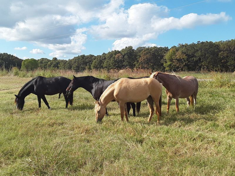 CATHEY: Choctaw Spanish Mustangs, Heritage Horse of Oklahoma, Arrive at Jones Academy