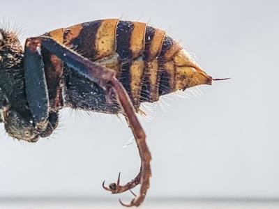 'Murder hornet'