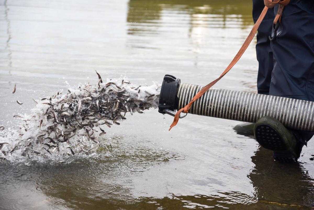 Fish Stocking At Woodcock Creek Lake
