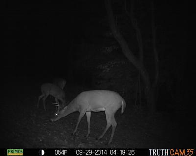Trail camera catches buck at dinner