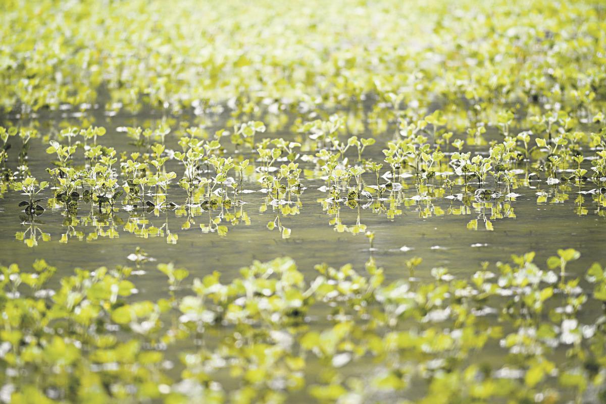 Wet soy field
