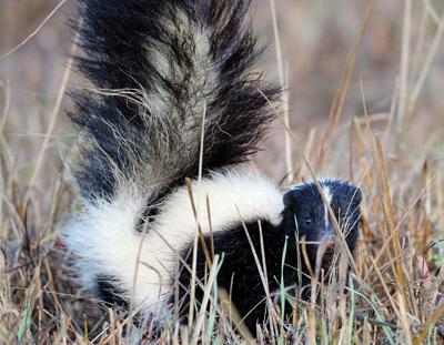 Alamance Health Dept. confirms first local 2021 rabies case in skunk