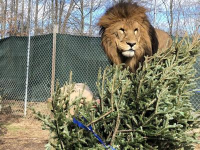 Big cats and other animals enjoy tree toss event