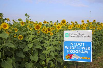 Local co-op plants sunflowers along I-40 in Mebane
