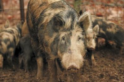 Controlling Feral Hogs In Arkansas News Menastar Com