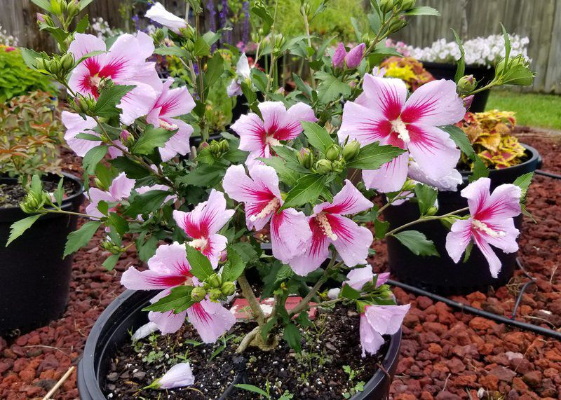 Rose of Sharon has high growth potential