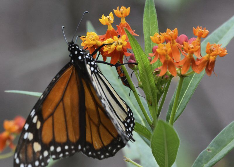 Attract Monarch butterflies with milkweed selections