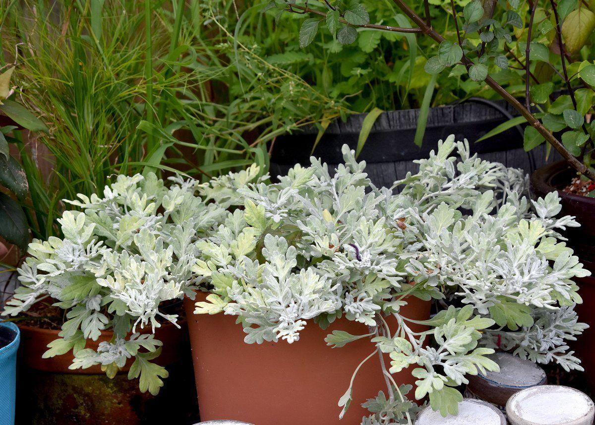 Artemisia is a perfect option for low-maintenance landscapes