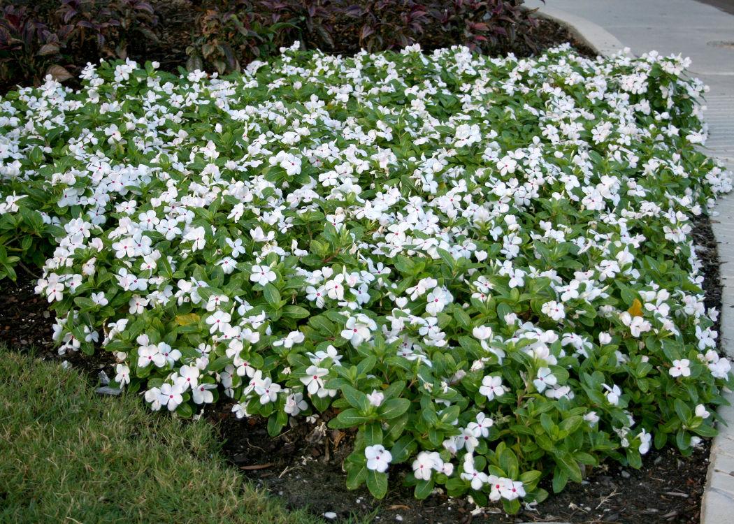 Annual flowering vinca deserves garden space community annual flowering vinca deserves garden space izmirmasajfo