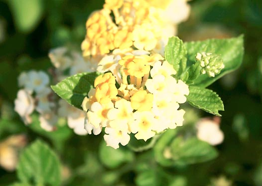 Caring For Lantana Plants: Growing And Care Of Lantanas