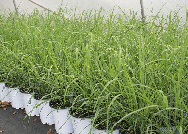 e765b3c228b Use lemongrass as annual or perennial