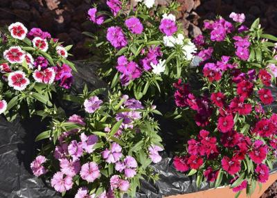 Dianthus varieties add color to landscape in cool weather