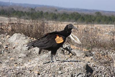 MSU scientist returns to vulture study, relying on 'citizen scientists'