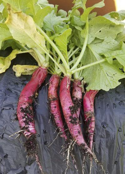 Common names complicate Long Beach Red radish search
