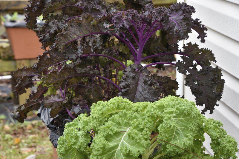 Tasty, nutritious kale brings garden beauty