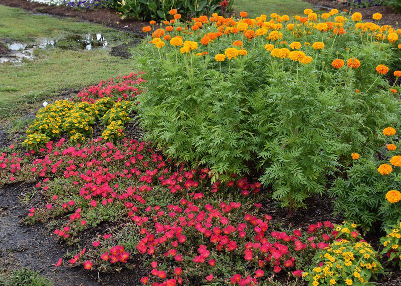 Marigolds supply lasting color, help for tomatoes   Lifestyles ...