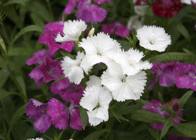 Choose Telstar Dianthus For Winter Spring Color