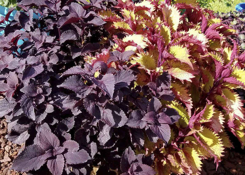 Coleus Varieties Now Ready For Garden Shade And Sun