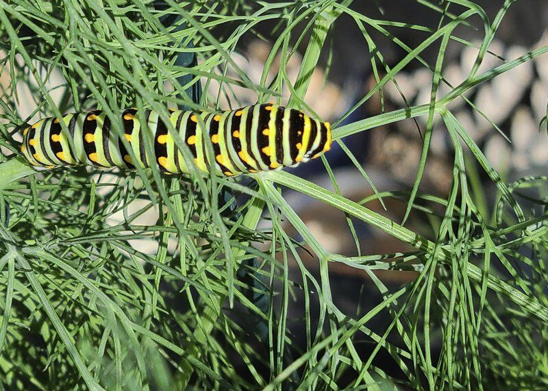 Plant extra forage for butterfly caterpillars