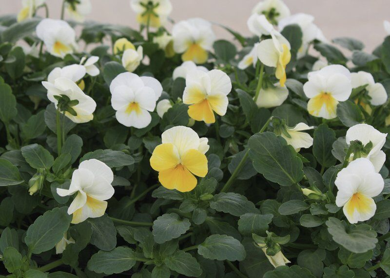 Plant violas now for fall to spring color