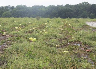 Weather ruins most of state's watermelon crop