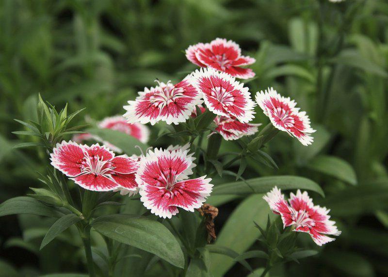 Gardening Cool Season Dianthus Lasts Through Spring