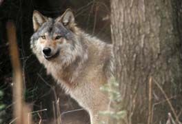 Howling Against Ruling