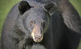 Potential for nuisance bears high right now