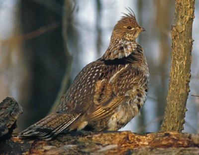 Ruffed grouse success will fluctuate based on hunting spot