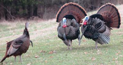 Spring turkey season good news for area hunters