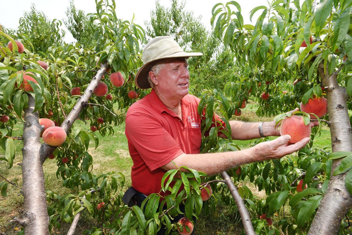 Peaches abundant at Reid's this summer
