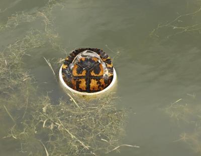 Golf: Saving Tommy Turtle